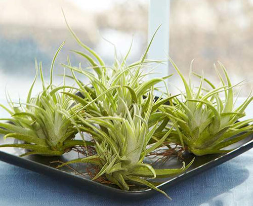 103-Air-Plants-For-Home