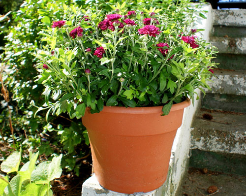 108-Potted-Mums-For-Fal