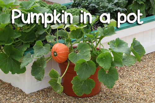 116-Pumpkin-In-A-Pot