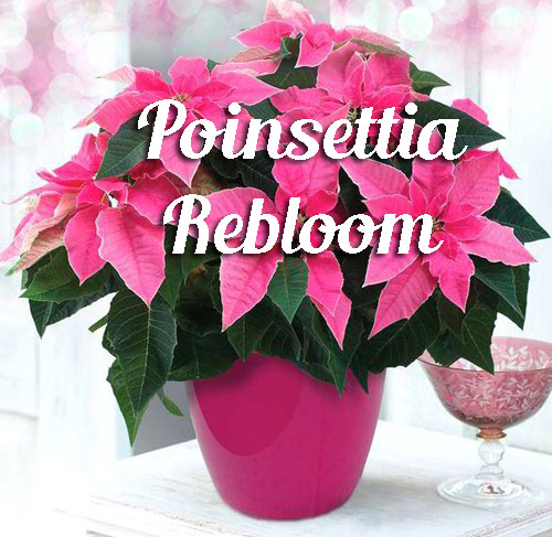 122-Poinsettia-Rebloom