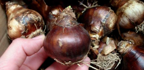 22-Garden-Bulbs-To-Plan