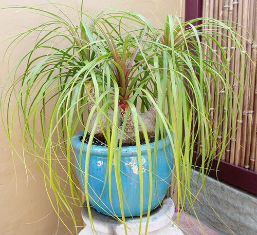 24-Potted-Ponytail-Palm