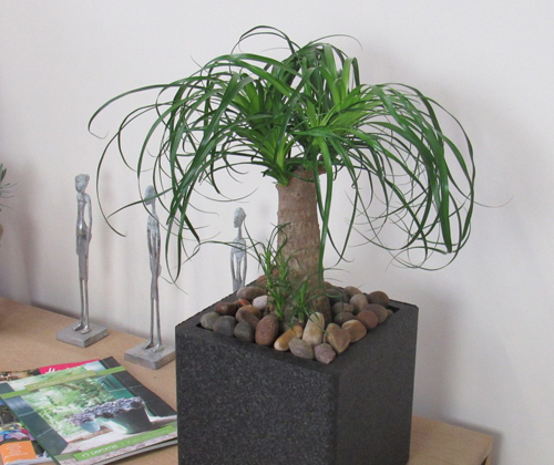 25-Potted-Ponytail-Palm