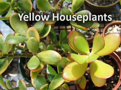 3-Yellow-Houseplants