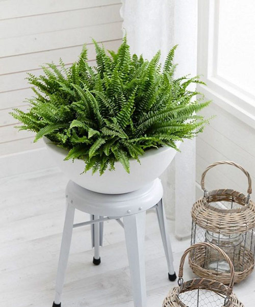 337-Indoor-Potted-Fern-
