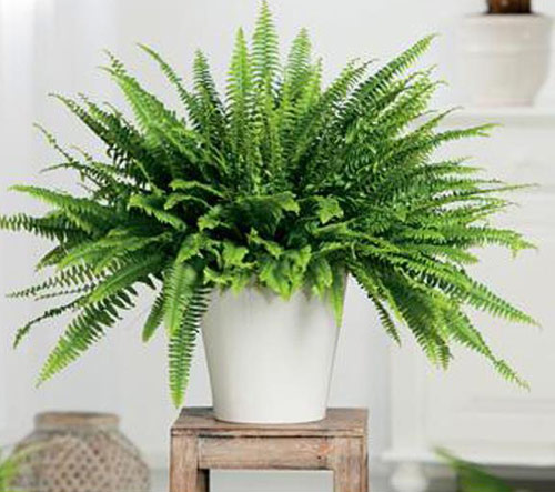 338-Potted-Fern-Tips