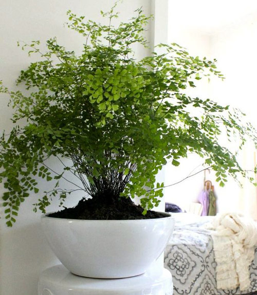 340-Potted-Fern-Tips