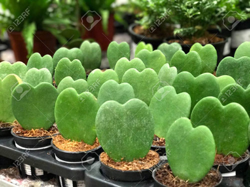 395-Potted-Hoya-Heart
