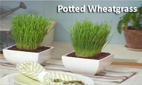 52-Potted-Wheatgrass