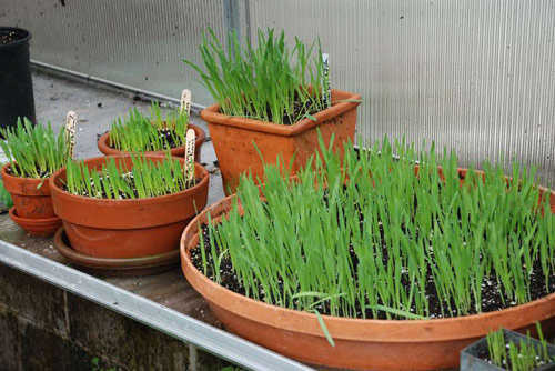 54potted-Wheatgrass