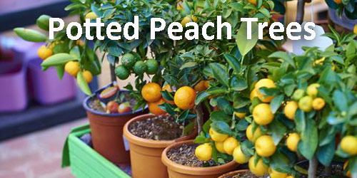 57-Potted-Peach-Trees