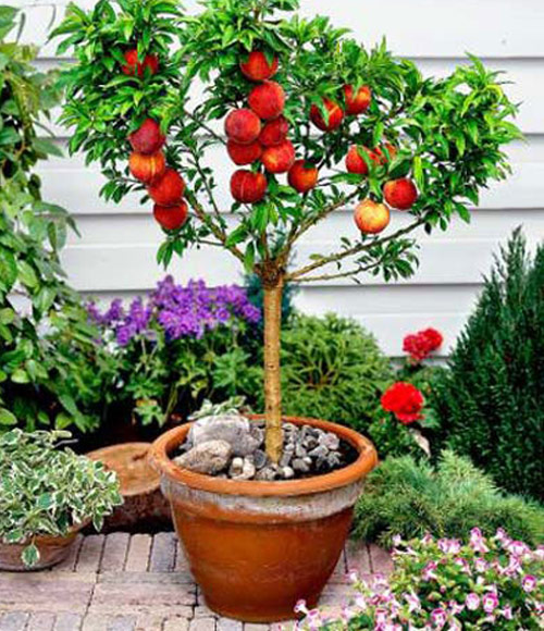 58-Potted-Peach-Trees