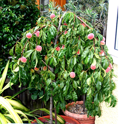 59-A-Potted-Peach-Tree