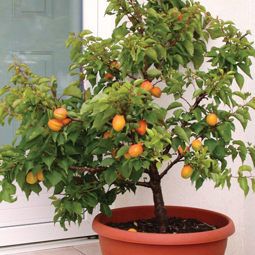 60-A-Potted-Peach-Tree