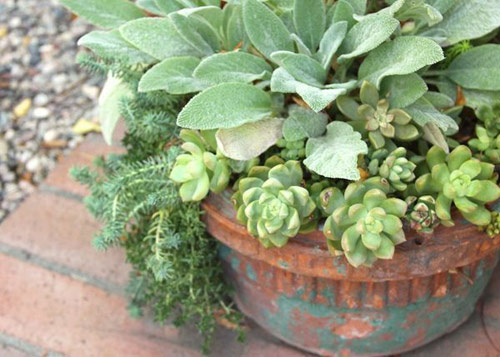 684-Potted-Lambs-Ear-An