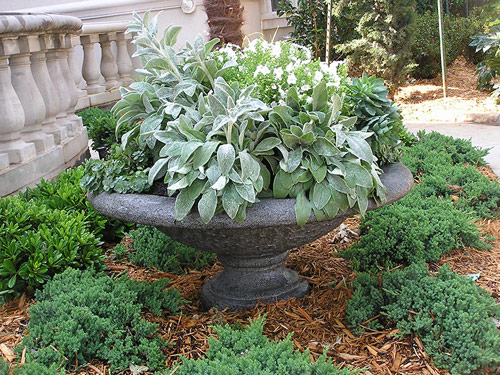 686-Potted-Lambs-Ear-In