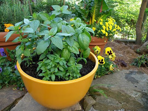 855-Potted-Basil