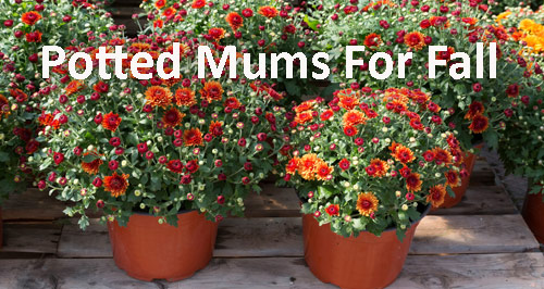 91-Potted-Mums-For-Fall