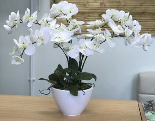 1052-White-Moth-Orchid