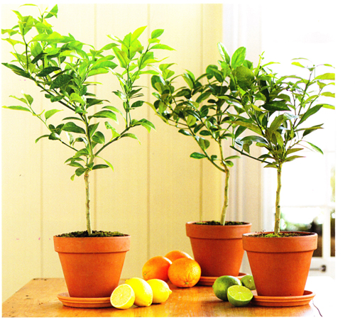 1075-Lemons-In-Standard-Flower-Pot