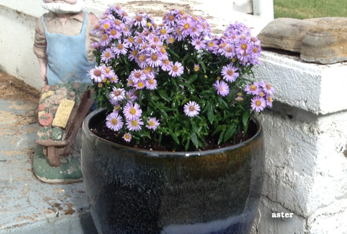 1077-Potted-Aster-For-Fall-Containers