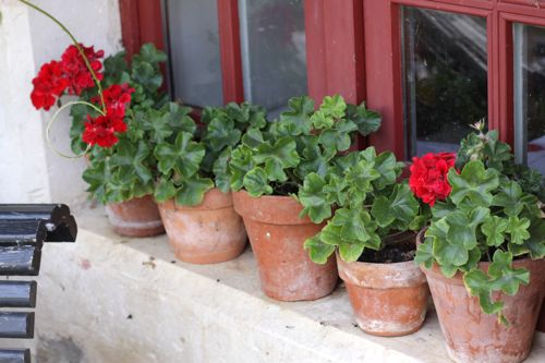 Terracotta pots filled with geraniums