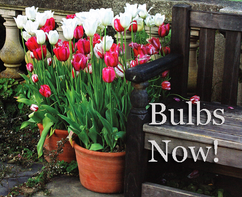 Plant garden bulbs now in clay flowerpots