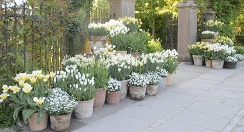 1287-Spring-Bulbs-In-Garden-Pots