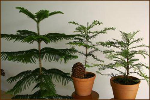 Evergreen trees potted in garden containers
