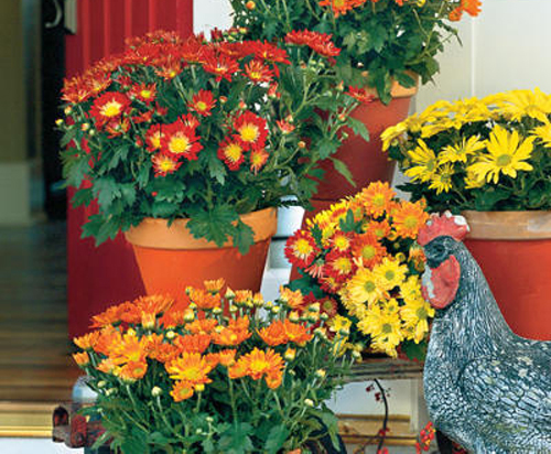 Potted Mums are perfect for your garden planters