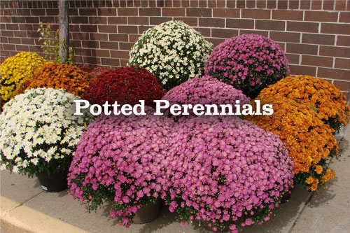 Fall Perennials to put into garden planters