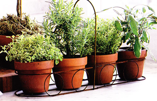 Potted Herbs for indoors
