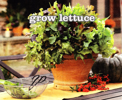 Growing lettuce in flowerpots