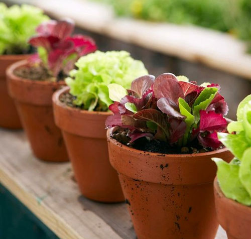 Tips on growing cool weather lettuce in a garden pot