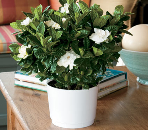 Fragrant Houseplants Gardenia