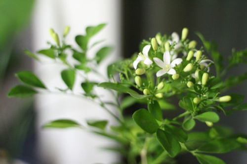 Indoor Potted Orange Jessamine