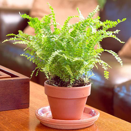 Ferns as indoor houseplants