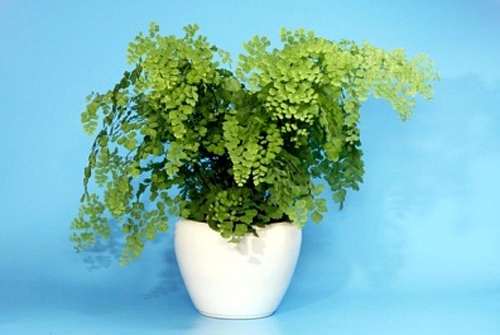 Indoor potted maidenhair fern