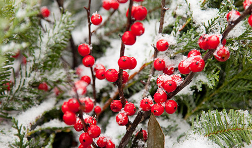 Fill containers with bright holly berries