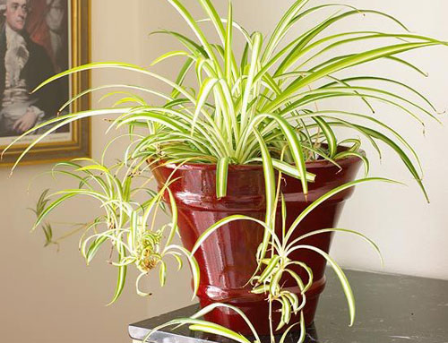 1665-Spider-Plant-For-In
