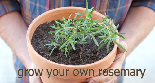 Grow Rosemary for indoor plants potted in garden containers