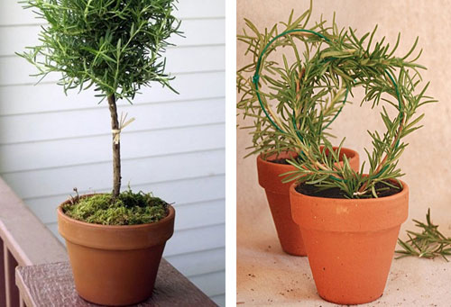 Plant containers of rosemary that you can use inside during the cold months.