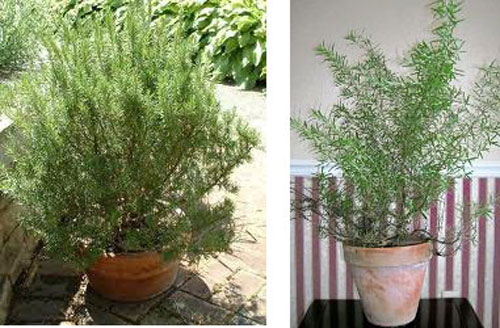 Potted Rosemary for indoors during the winter months.