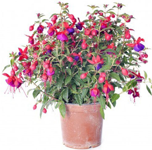 Terracotta pot planted with fuchsia flowers.