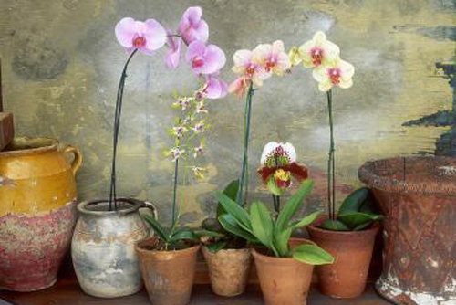 2540-Potted-Orchids