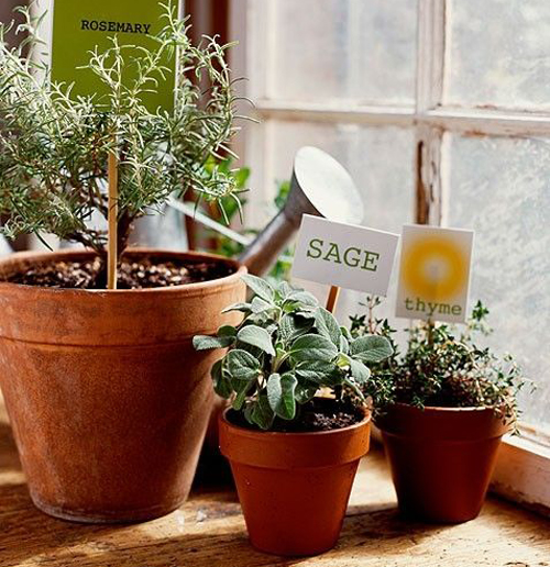 3863-Sage-Potted