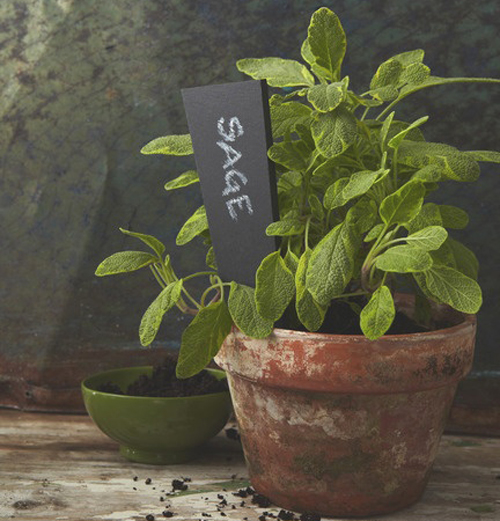 3864-Potted-Sage-Indoors
