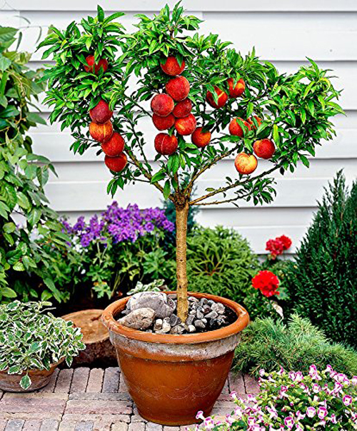 3888-Potted-Peach-Tree