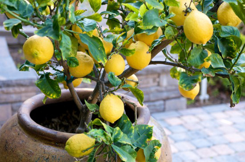 3889-Potted-Lemon-Tree