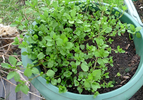 3921-Chickweed-Potted